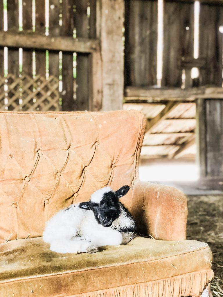 Grace's Lamb, Introducing Grace's First Lamb!
