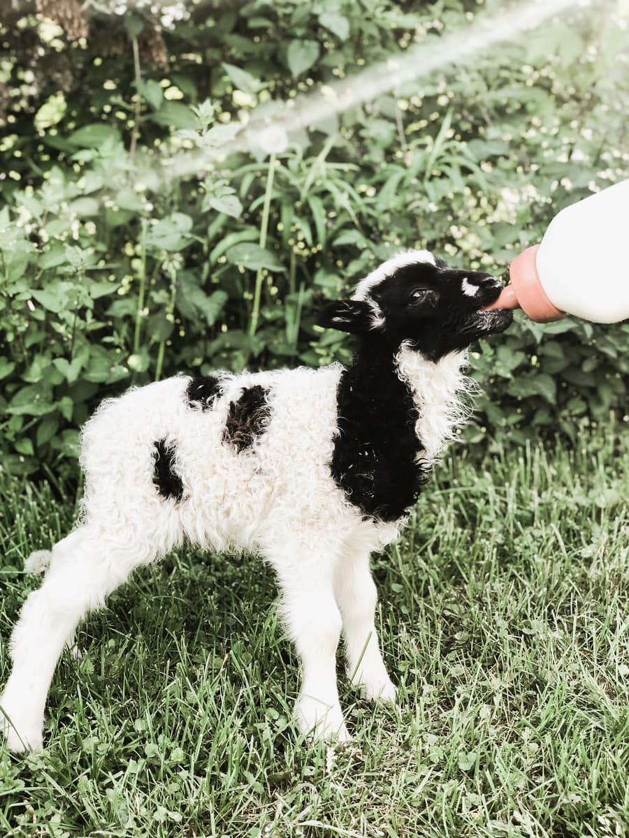 Introducing Grace's First Lamb!