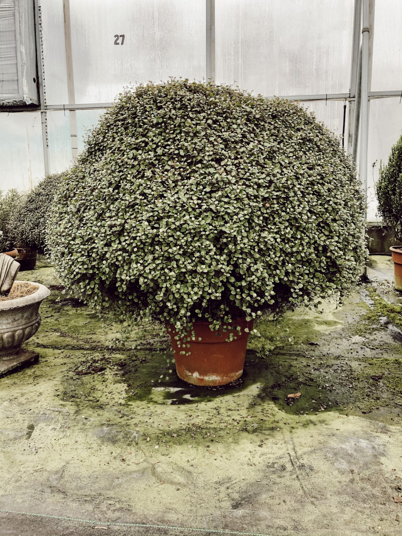 Oversized green potted plant